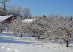 Как зимует яблоня сорта Приземленное