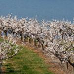Яблоня сорта Приземленное в саду