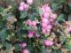 Агротехника выращивания Снежноягодника в открытом грунте