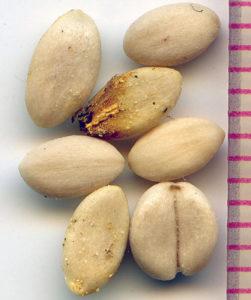 Семена снежноягодника