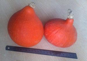 Преимущества и недостатки сорта тыквы Золотая груша