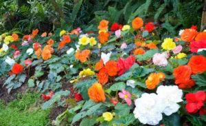 Фото бегоний в саду