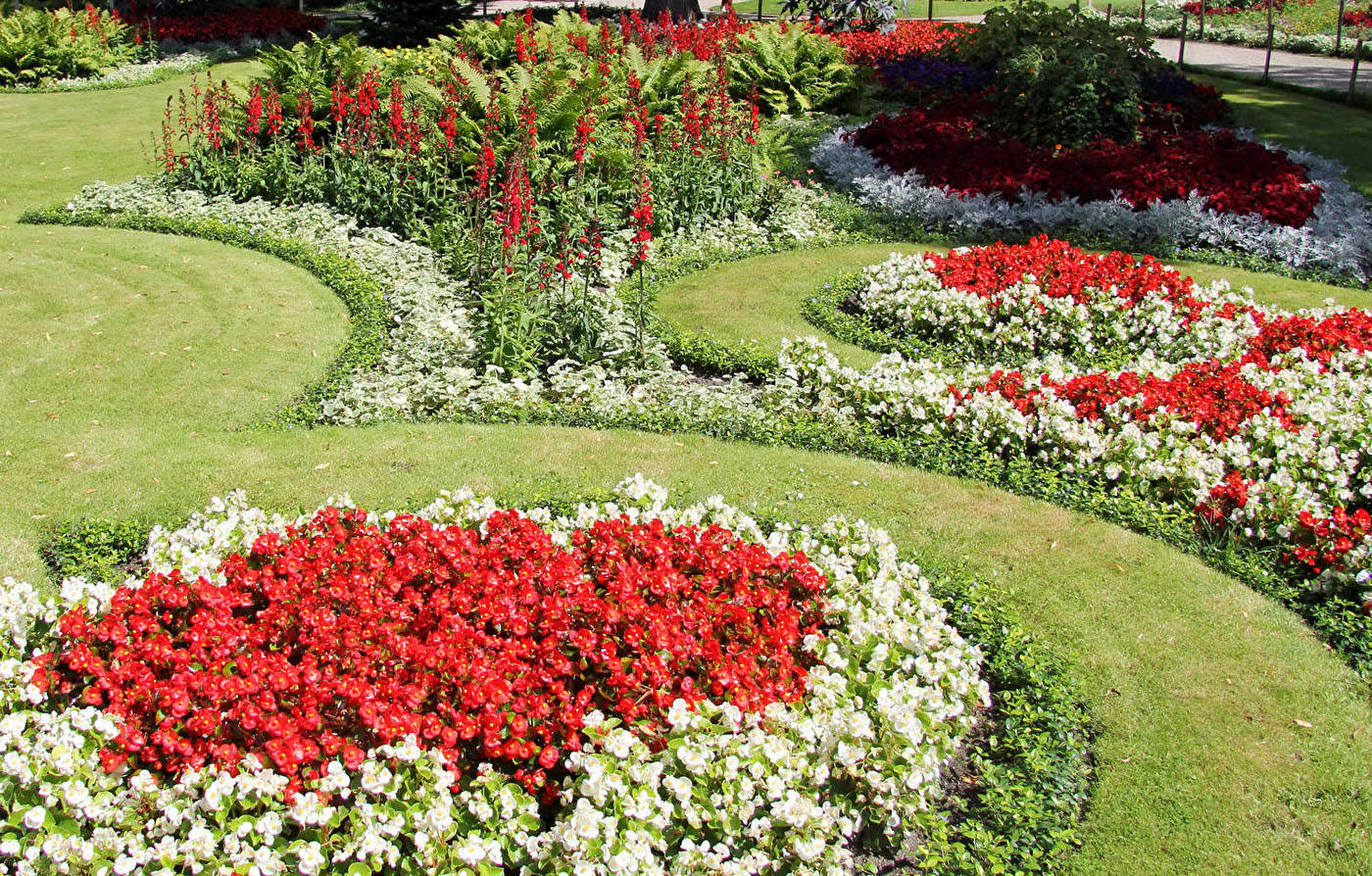 Бегония садовая многолетняя
