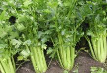 Правила выращивания черешкового сельдерея из рассады в открытом грунте