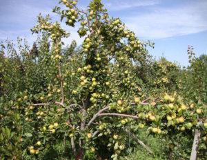Плюсы и минусы сорта яблони чудное