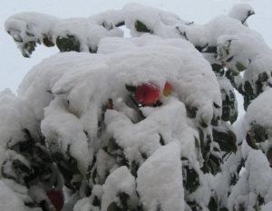 Условия зимовки для яблони Чудное