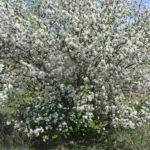 Описание сорта карликовых яблонь Чудное