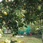 Как выглядит сорт яблони Чудное