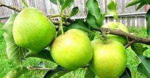Отзывы и плюсах и минусах сорта яблони Чудное