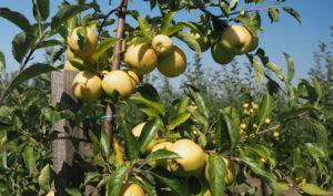 Преимущества сорта карликовой яблони Чудное