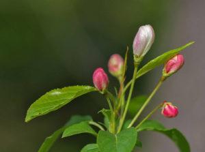Когда начинает цвести яблоня Чудное