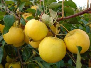 Как выглядят яблоки сорта Чудное