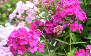 Агротехника выращивания флоксов в отрытом грунте