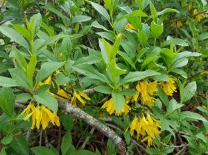 Форзиция темно-зеленая (Forsythia viridissima)