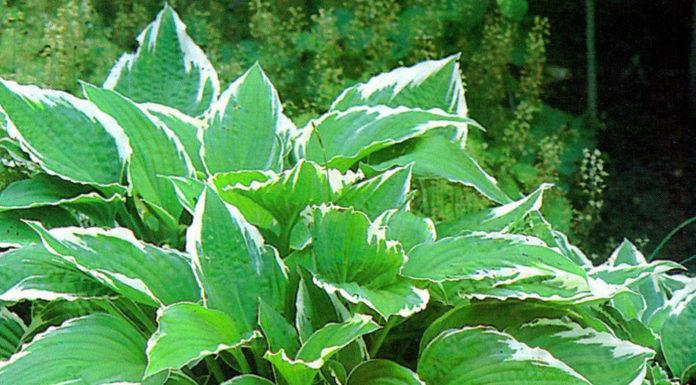 Хоста курчавая (H. crispula)