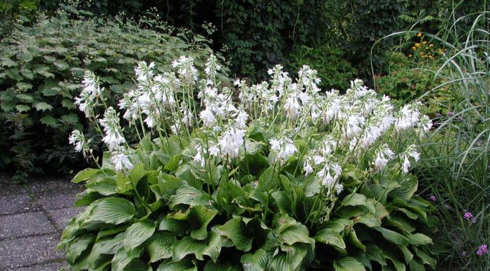 Хоста подорожниковая (H. plantaginea)