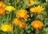 Как выращивать полевую календулу в открытом грунте