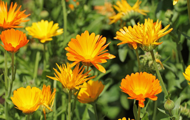 Календула: описание и правила выращивания растения