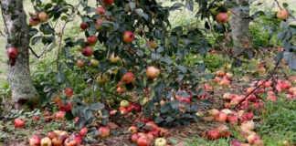 Форум и отзывы о сортах карликовых яблонь