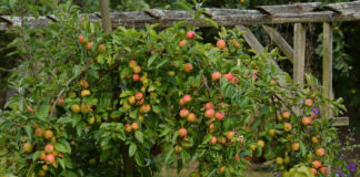 Как выбрать лучший сорт карликовых яблонь