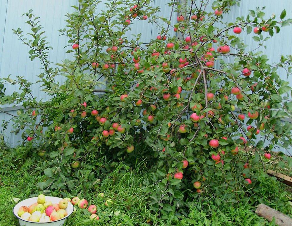 Фото натюрморт на столе в яблоневом саду хочу представить