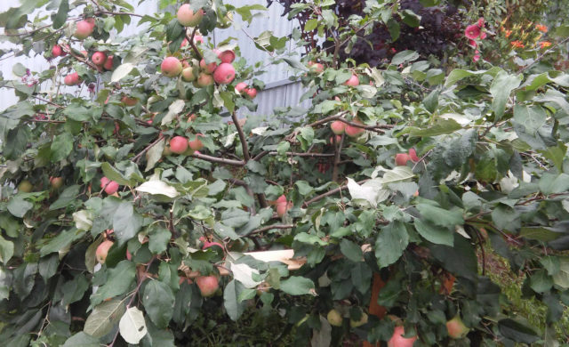 Соколовское подвид яблони Ковровое