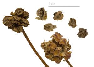 Семена кровохлебки