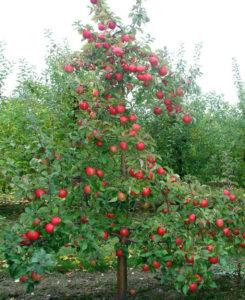В каком регионе можно выращивать яблоню Легенда