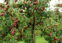 Преимущества и недостатки яблони сорта Легенда, рейтинг