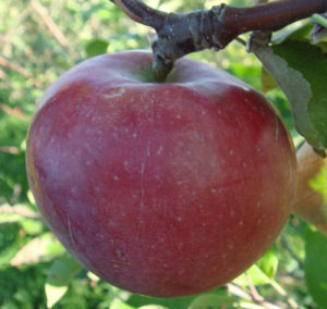Яблоки от яблони сорта Легенда