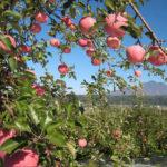 Внешний вид и описание яблони сорта Легенда