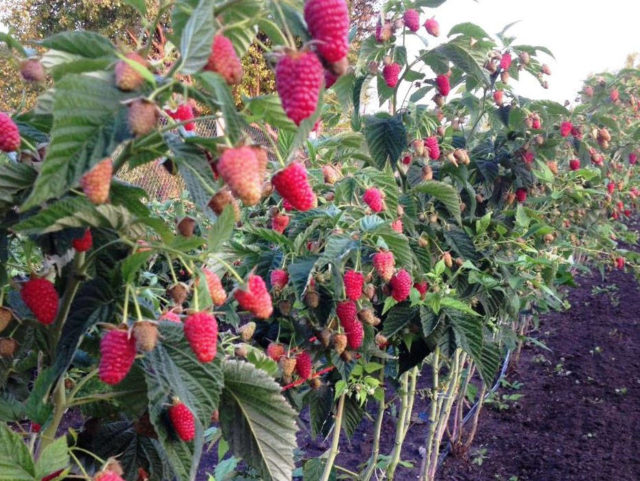 Подкормка и профилактика болезней малинового дерева