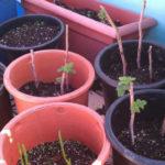 Размножение штамбовой малины зелеными черенками