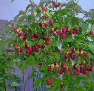 Штамбовое малиновое дерево на даче