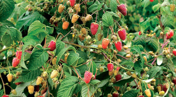 Сорт малинового дерева сказка