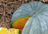 Рейтинг сорта тыквы Мраморная