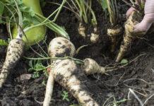 Агротехника выращивания пастернака в открытом грунте
