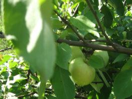Отзывы о преимуществах и недостатках яблони Подснежник