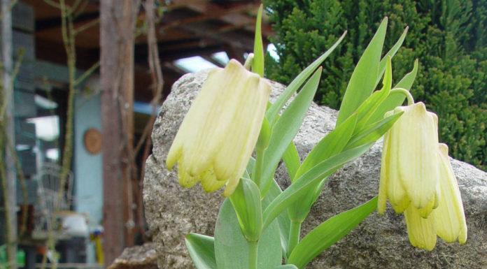 Рябчик бледноцветковый (F. pallidiflora)