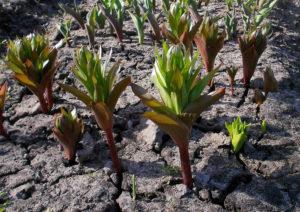 Схема посадки растения рябчики