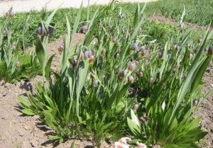 Агротехника выращивания рябчиков в саду