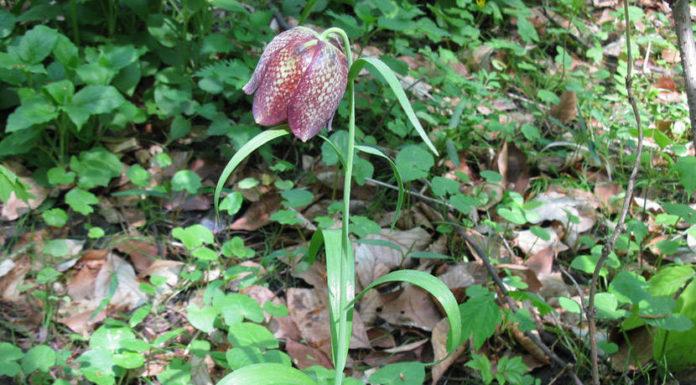 Рябчик крупноцветковый (F. grandiflora)