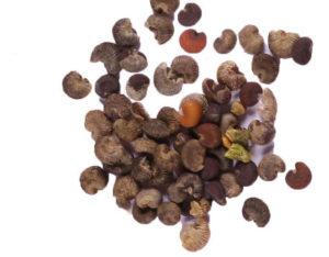 Семена цветов рябчики