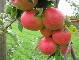 Плюсы и минусы сорта яблонь Арбат
