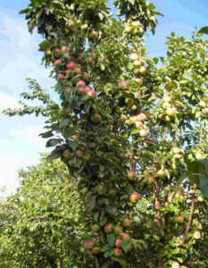 Какого размера крона у яблони сорта Арбат