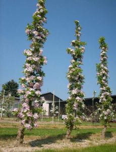 Урожайность дерева яблони Арбат