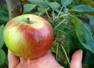 Какой на вкус сорт яблок Арбат