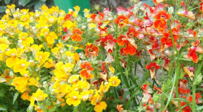 Фото разнообразия сортов и расцветок немезии