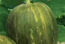 Рейтинг сорта тыквы Витаминная