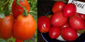 Отзывы и рейтинг сорта томата Боец